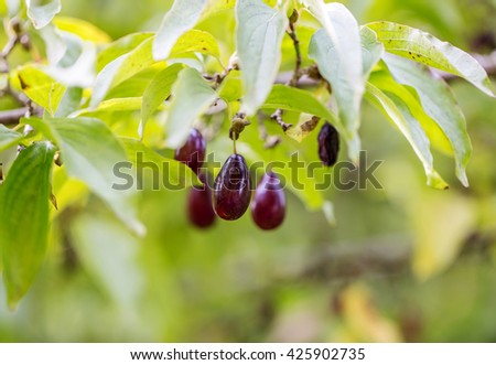 Berries ripe dogwood on a branch. Backlight, colorful background image in high key style. Selective soft focus - stock photo