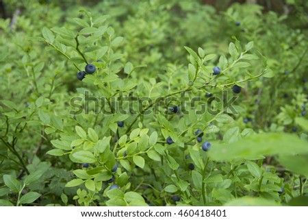 berry blueberries on the bushes - stock photo