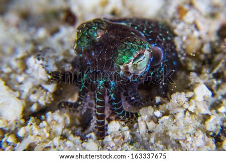 berry bobtail squid under water - stock photo