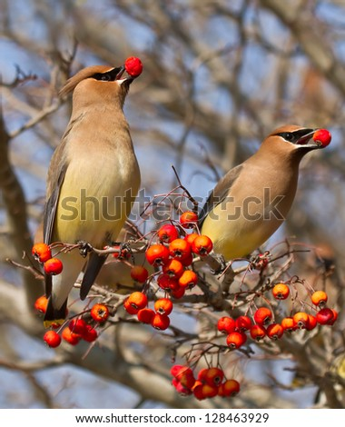 Berry Eating Cedar Waxwings - stock photo