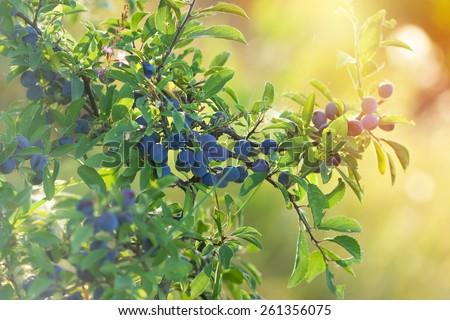 Berry fruit - forest fruit (sloe healthy fruit) - stock photo
