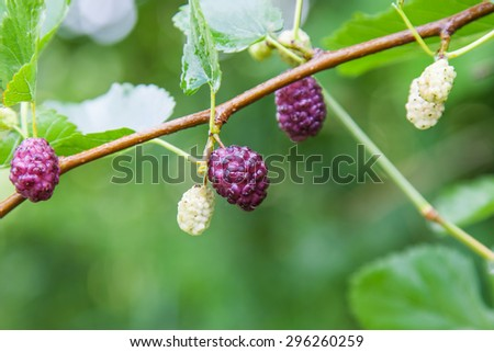 Berry fruit in nature, mulberry twig - stock photo