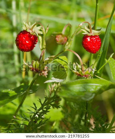 Berry of woodland strawberry
