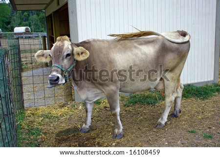 Bessie the cow ready to be milked - stock photo