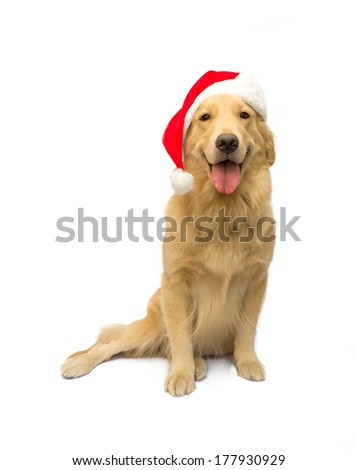 best christmas gift cute golden retriever dog isolated in white background with clipping path - stock photo