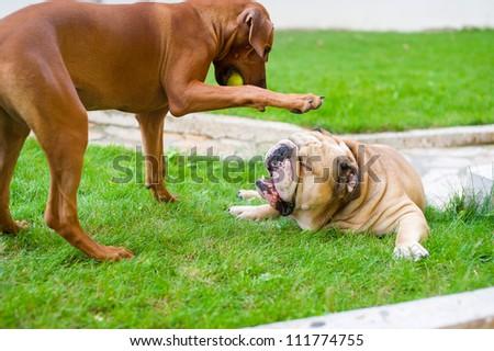 Best dog friends english bulldog and rhodesian ridgeback playing outdoors in the garden - stock photo
