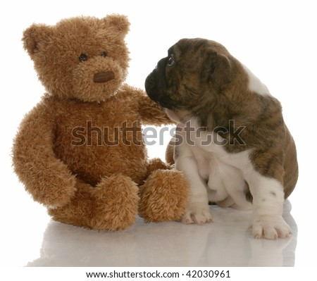 best friends - english bulldog puppy being comforted by teddy bear - stock photo