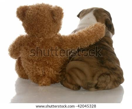 best friends - english bulldog puppy sitting beside bear - stock photo