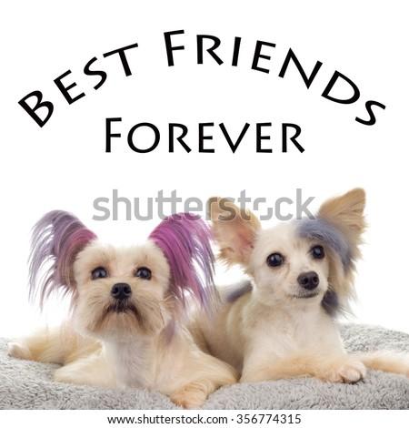 Best friends Forever Steam Punk Maltipoo - stock photo