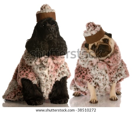 best friends - two dog girlfriends dressed up in fashionable clothing - stock photo
