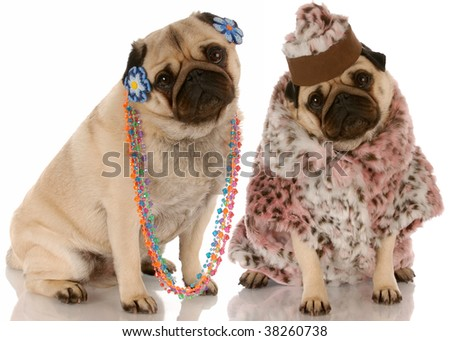 best friends - two pug girlfriends dressed up in fashionable clothing - stock photo
