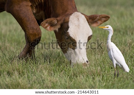Best of Friends Cow and Bird - stock photo