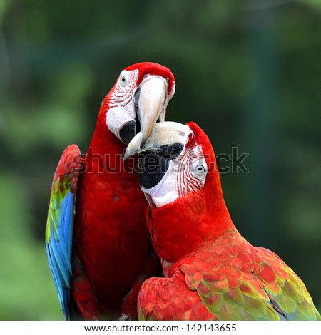Best of kissing sweet macaw, green-winged macaw, red green blue macaw, green wings macaw, red macaw - stock photo