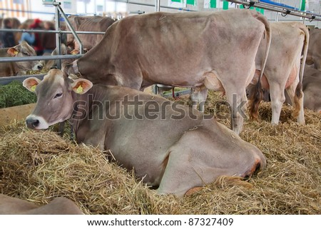 Best swiss cows presented on a yearly exhibition