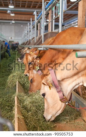 Best swiss cows presented on a yearly exhibition - stock photo
