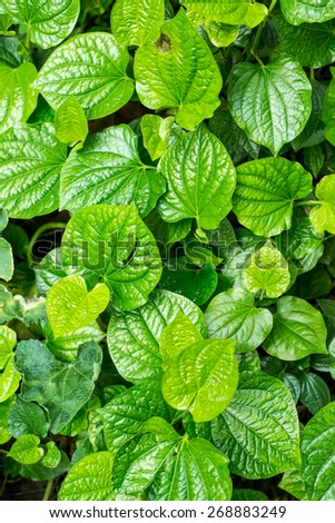 Betel leaf - stock photo