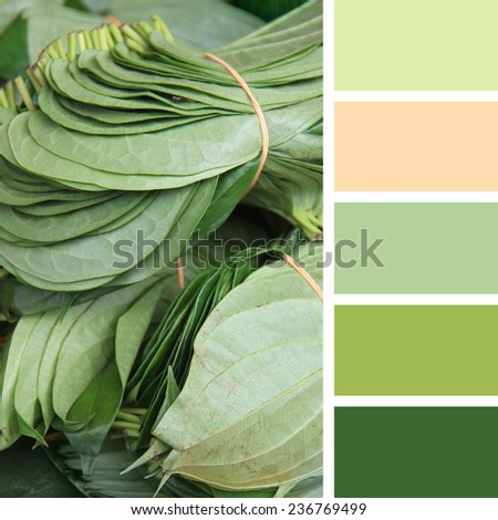 betel leaf on the market. color palette swatches. - stock photo