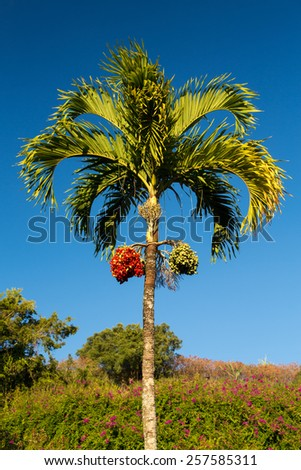 Betel Nut or Areca Catechu tropical tree growing in Kauai - stock photo