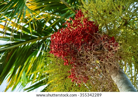 Betel nut palm or Betel Nuts on tree. - stock photo