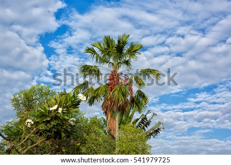 Betel nut palm or Betel Nuts on tree and sky blue .