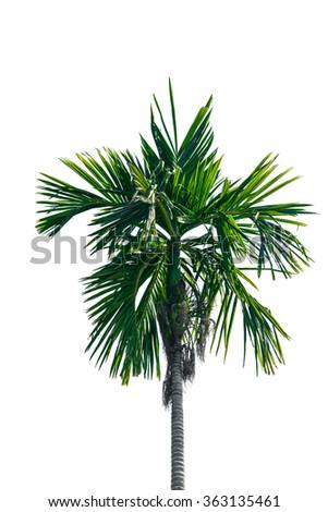 betel palm tree on white on white background - stock photo