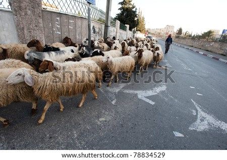 BETHLEHEM - MARCH 16: A Palestinian shepherd leads his sheep through the streets of the West Bank town of Bethlehem on March 16, 2011. - stock photo