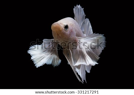 Betta bigear white betta isolated on black background