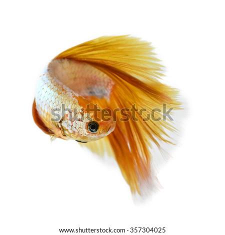 betta fish - stock photo