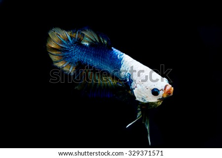 Betta fish fancy dragon or Siamese fighting fish on black background