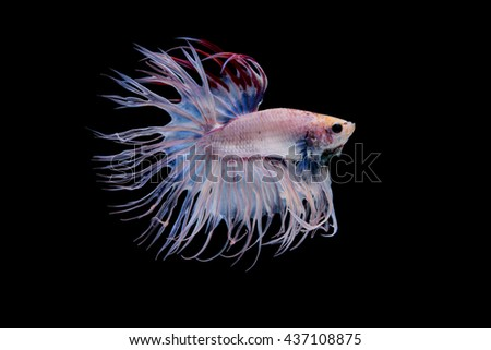 Betta fish on black  background.