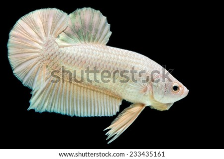 Betta fish on the black background. - stock photo