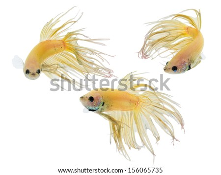 betta fish or fighting fish isolated on white - stock photo