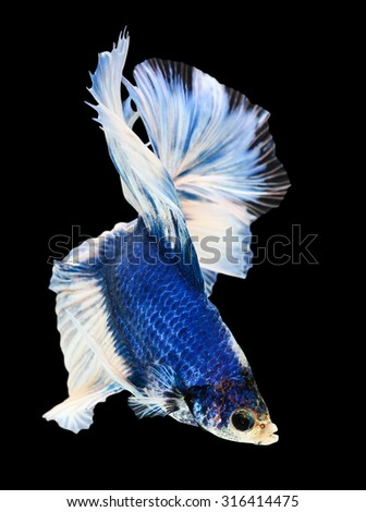 Betta fish, siamese fighting fish, betta splendens (Halfmoon betta