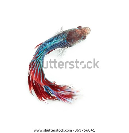 Betta fish, siamese fighting fish, betta splendens on top view