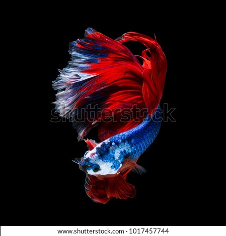 Betta Fish Siamese Fighting Fish Halfmoon Stock Photo (Edit Now ...