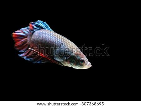 Betta fish, siamese fighting fish, isolated on black background.Focus on the eyes. - stock photo