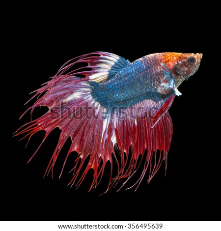 Chinese fighting fish stock images royalty free images for Black betta fish for sale