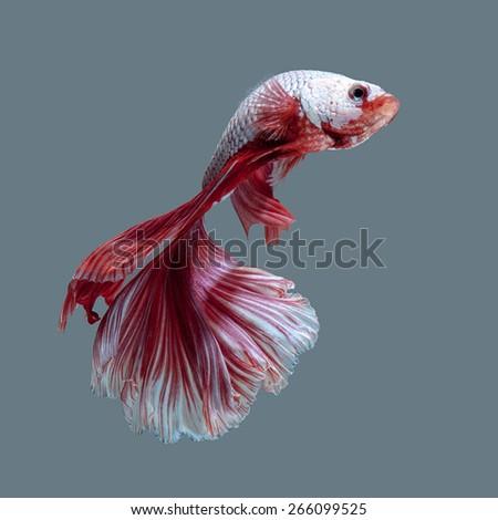 betta fish, siamese fighting fish on white background - stock photo