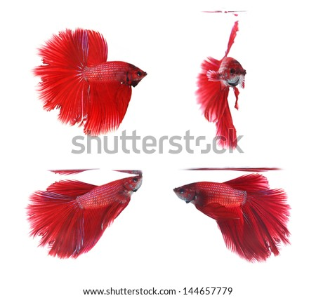 Betta fishes, siamese fighting fish isolated on white background Red Halfmoon - stock photo