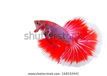 betta on a white background. - stock photo