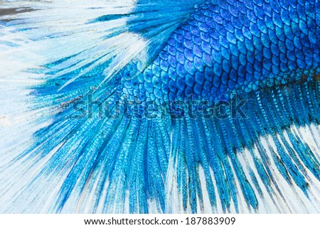 betta, siamese fighting fish skin texture for background - stock photo