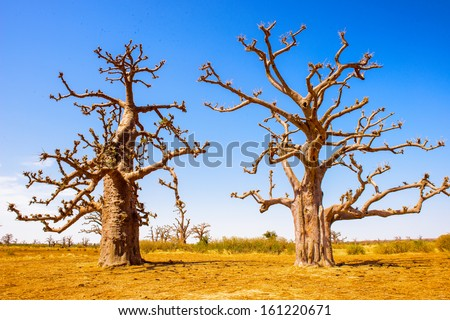 Beuatiful view of the baobab trees in Africa - stock photo