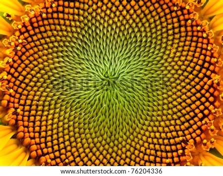 beutiful close-up sunflower - stock photo