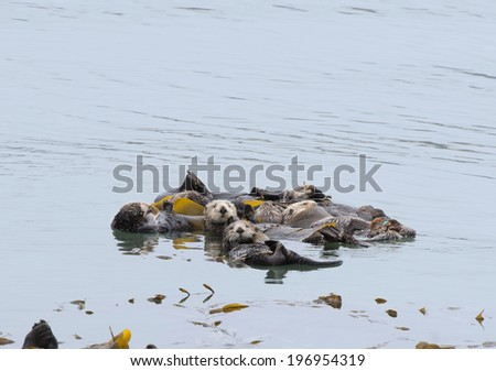 Bevy of floating Otters - stock photo
