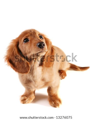 Bewildered looking dachshund puppy. Add your own text.
