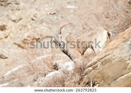 Bharal or Himalayan Blue Sheep, Spiti Valley, Himachal Pradesh, India - stock photo