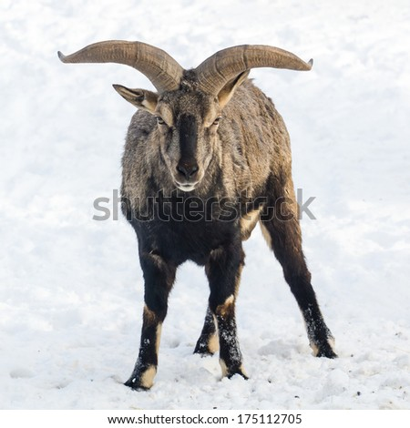 Bharal or naur (sichuan blue sheep) standing in front of camera - stock photo