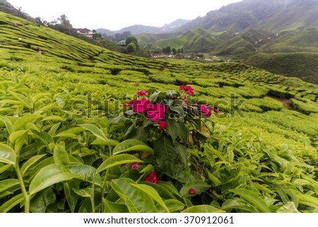 Bharat Tea Plantation in Cameron highlands, Malaysia. - stock photo