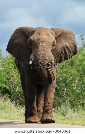 Bi bull elephant on road charging - stock photo