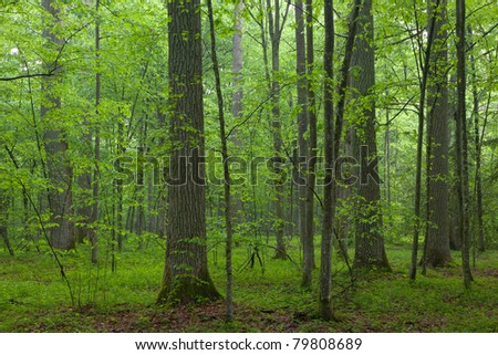 Bialowieza Forest riparian stand in morning with alder and alder tree illuminated